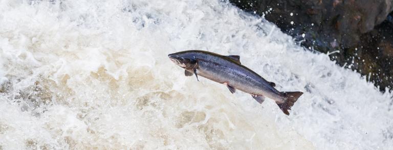 Wild salmon fishing
