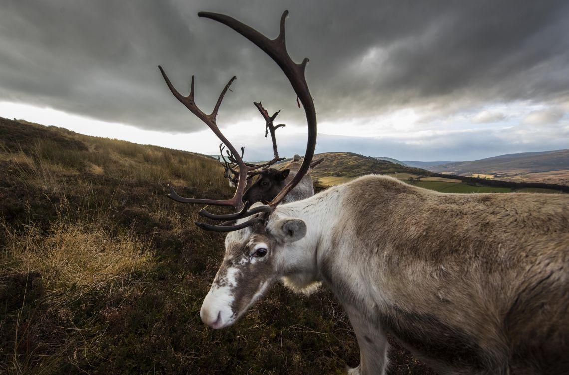 Glenlivet reindeer